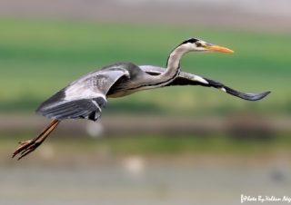 balıkçıl-kuşları-fotoğraf-çekimi