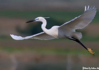 kuş-fotoğrafçılığı,-balıkçıl-kuşları-fotoğraflamak