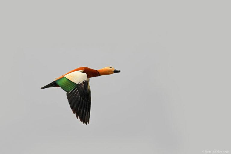 Angıt-kuşu,-Kuş-Fotoğrafı,-Kuş-Fotoğrafçısı_mini