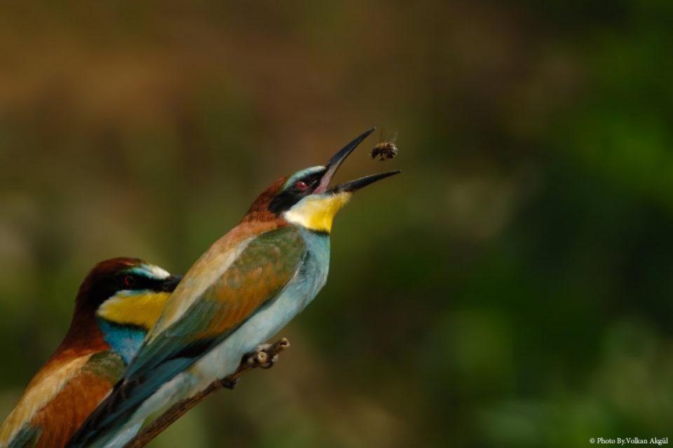 Arı-Kuşu,-Kuş-Fotoğrafı,-Kuş-Fotoğrafçısı,-Kuş-fotoğrafı-Çekim-Teknikleri_mini