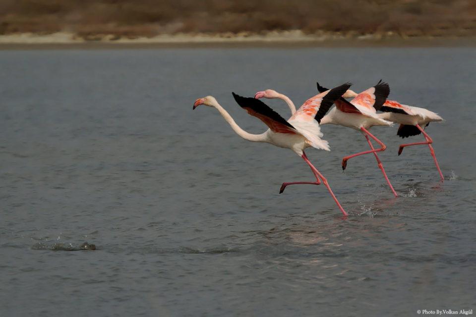 Flamingo,-Kuş-Fotoğrafı,-Kuş-Fotoğrafçısı_mini