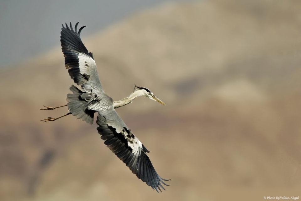 Gri-Balıkçıl,-Kuş-Fotoğrafı,-Kuş-Fotoğrafçısı_mini