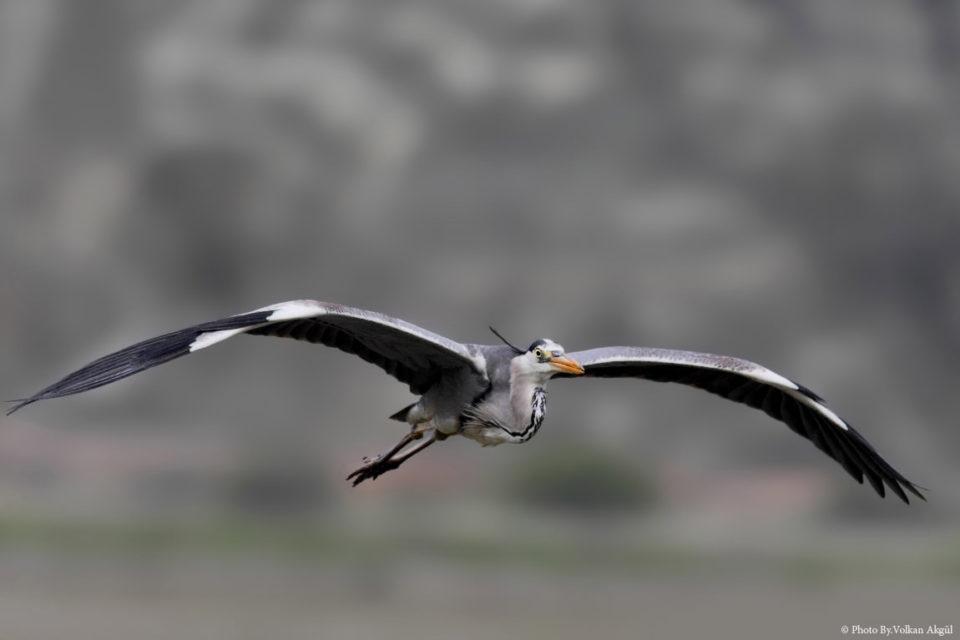 Gri-Balıkçıl,Grey-Heron-Kuş-Fotoğrafı,-Kuş-Fotoğrafçısı,-Kuş-fotoğrafı-Çekim-Teknikleri_mini