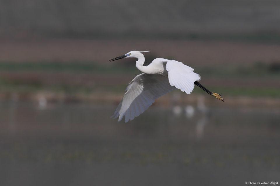 Küçük-Ak-Balıkçıl,-Kuş-Fotoğrafı,-Kuş-Fotoğrafçısı,-Kuş-fotoğrafı-Çekim-Teknikleri_mini