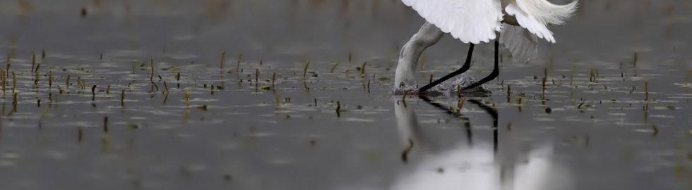 Küçük-Ak-Balıkçıl,-Kuş-Fotoğrafı,-Kuş-Fotoğrafçısı,-Kuş-fotoğrafı_mini