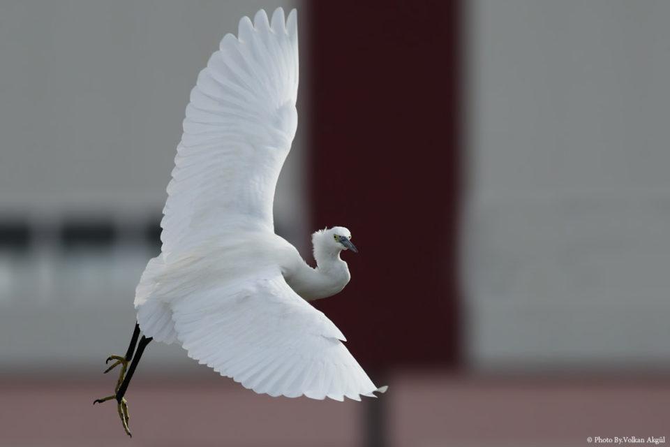 Küçük-Ak-Balıkçıl,-Kuş-Fotoğrafı,-Kuş-Fotoğrafçısı_mini