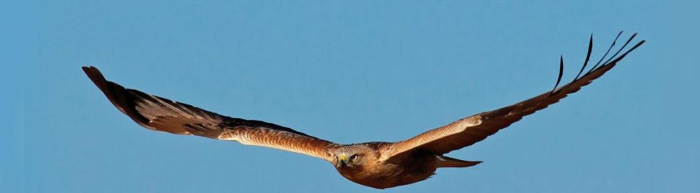 Kızıl-Şahin,-Kuş-Fotoğrafı,-Kuş-Fotoğrafçısı,-Kuş-fotoğrafı-çekim-teknikleri_mini