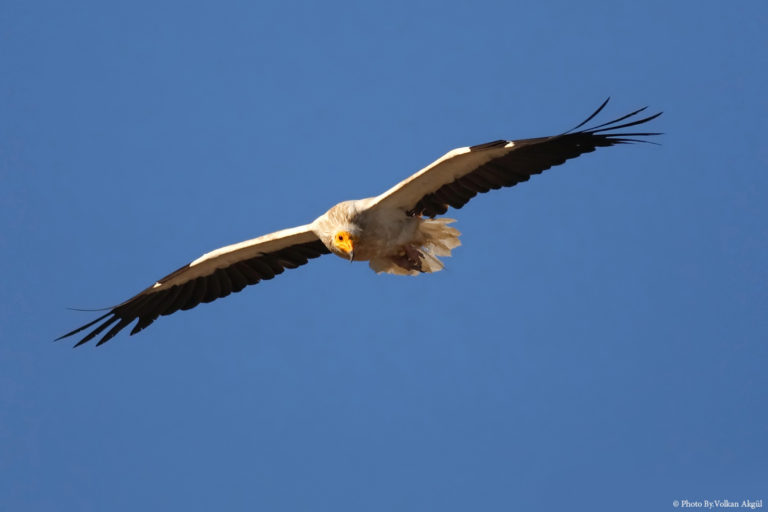 Kızıl-Akbaba,-Büyük-balıkçıl,-Kuş-Fotoğrafçısı,-Kuş-fotoğrafı_mini