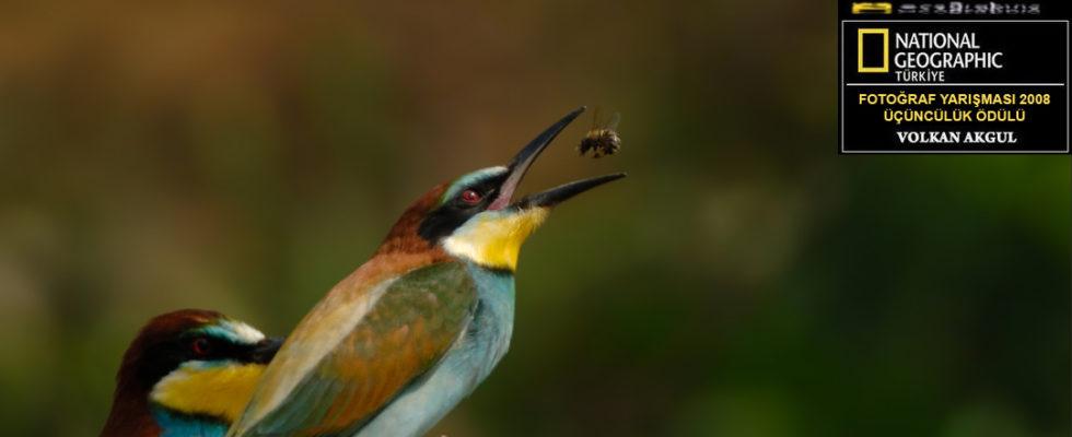 Arı kuşu (Meropidae ) Fotoğraf Çekimi Doğa'nın harikulade renkleri ile boyanmış, eşine az rastlanır bir canlı türü olan arı kuşları, doğa fotoğrafçılığında seyir keyfi yüksek bir tür. Arı kuşu fotoğraf çekim anlarında, avlanmalarını izlemek ve o anları ölümsüzleştirmek, sizlerde çok farklı duygular uyandırmanın yanı sıra büyülü bir atmosfere girmenize neden […]