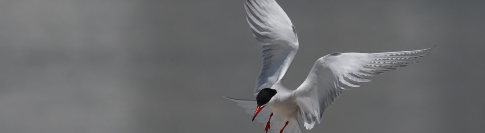Sumru-Kuşu,-Kuş-Fotoğrafı,-Kuş-Fotoğrafçısı_mini