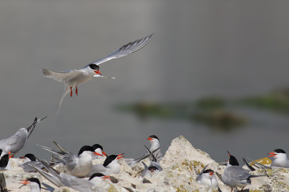 Sumru-Kuşu,-Kuş-Fotoğrafı,-Kuş-Fotoğrafı-Çekim-Teknikleri