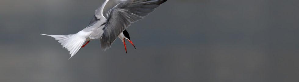Sumrular,-Kuş-Fotoğrafı,-Kuş-Fotoğrafı-Çekim-Teknikleri