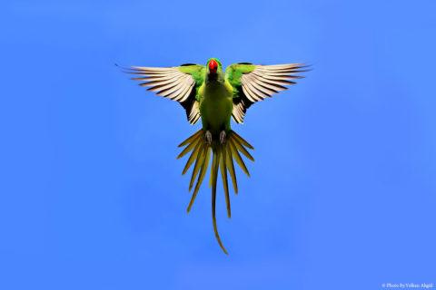 Yeşil-Papağan,-Kuş-Fotoğrafı,-Kuş-Fotoğrafçısı,-Kuş-fotoğrafı-Çekim-Teknikleri,-ödüllü-fotoğraf