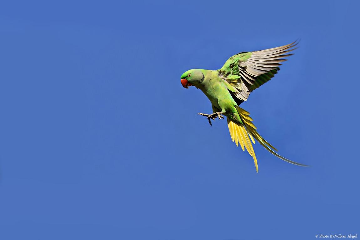 Yeşil-Papağan,-Kuş-Fotoğrafı,-Kuş-Fotoğrafçısı,-Kuş-fotoğrafı-Çekim-Teknikleri