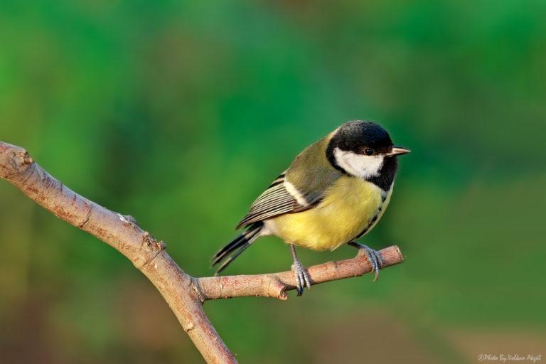 baştankara kuş fotoğrafı, kuş fotoğrafı çekim teknikleri