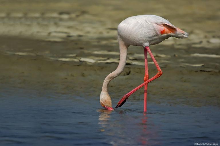 flamingo-fotoğrafı-kuş-fotoğrafları