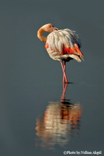 flamingo fotoğrafı
