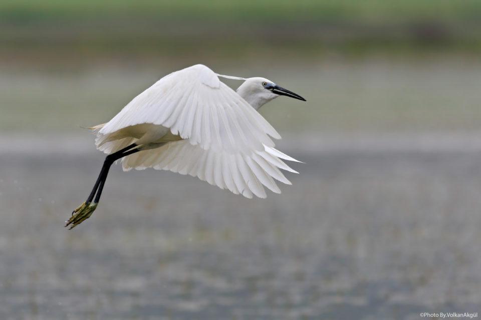 küçük-ak-balıkçıl-kuş-fotoğrafı