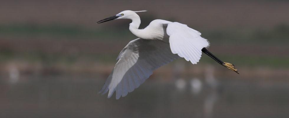 Gri Balıkçıl ve diğer balıkçıl türlerini nasıl fotoğraflarız? Bu yazı başlığı altında balıkçıl kuş türleri ile ilgili genel tespitler dışında, balıkçıl kuşlarının uçar fotoğrafları hangi tekniklerle çekilir? Gri balıkçıl, Küçük Ak balıkçıl, Büyük Balıkçıl, Gece balıkçılı ve Alaca balıkçıl kuşlarında ince detaylar nelerdir? Balıkçıl kuşlarını nerelerde bulabiliriz? şeklinde soruların cevaplarına […]