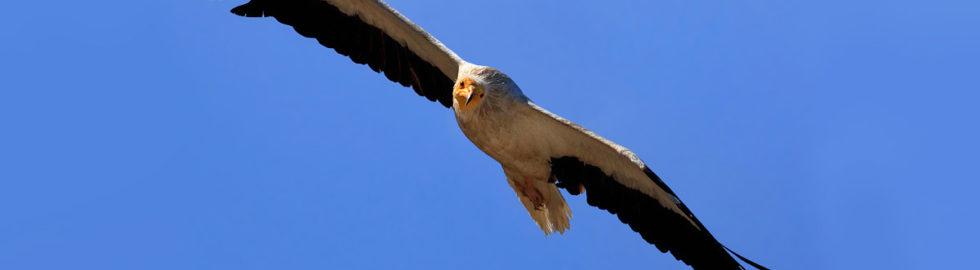 kızıl-akbaba-fotoğrafı,-kuş-fotoğrafları