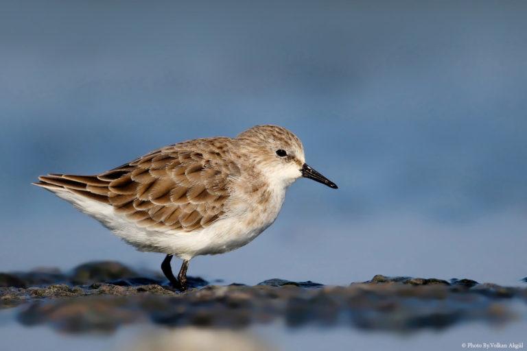 kuş-fotoğrafçısı,-kuş-fotoğrafı-nasıl-çekilir,-kuş-fotoğrafları,-su-kuşları_mini