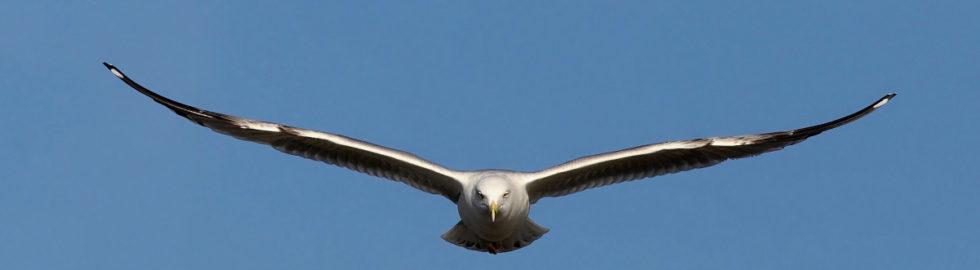 kuş-fotoğrafları,-martı-kuşu