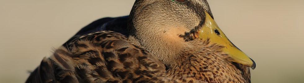 yeşilbaş-ördek,-kuş-fotoğrafçısı,-kuş-fotoğrafı-çekim-teknikleri_mini