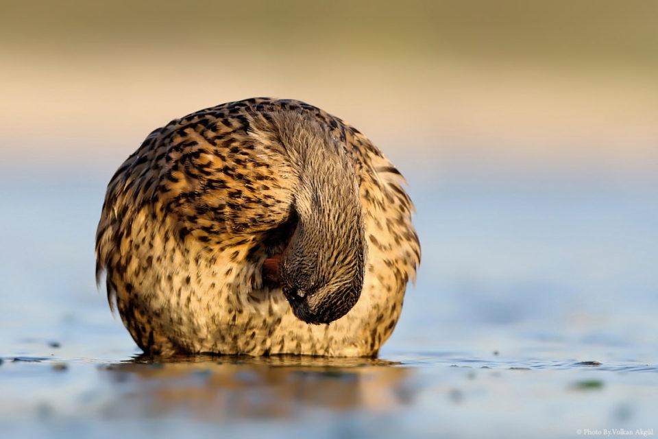 yeşilbaş-ördek,kuş-fotoğrafı,-kuş-fotoğrafları-nasıl-çekilir,-su-kuşları_mini