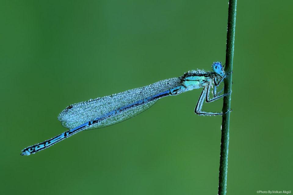 yusufcuk-böceği