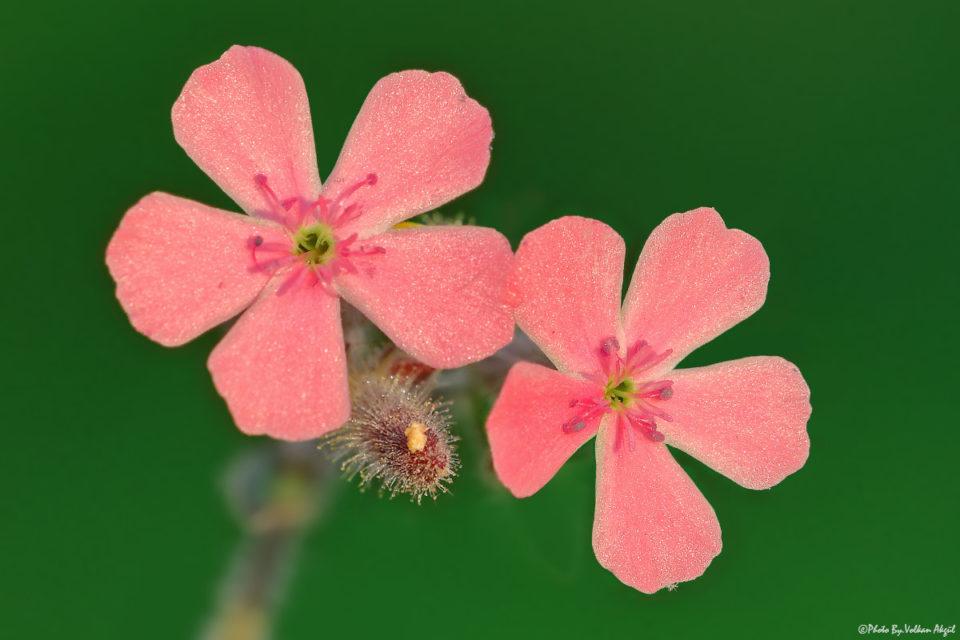çiçek-fotoğrafları,-çiçekler,-pembe-çiçekler