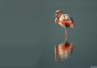 flamingo,-flamingo-fotoğrafları,-filamingo-çekim-teknikleri,-flamingo-çekimi