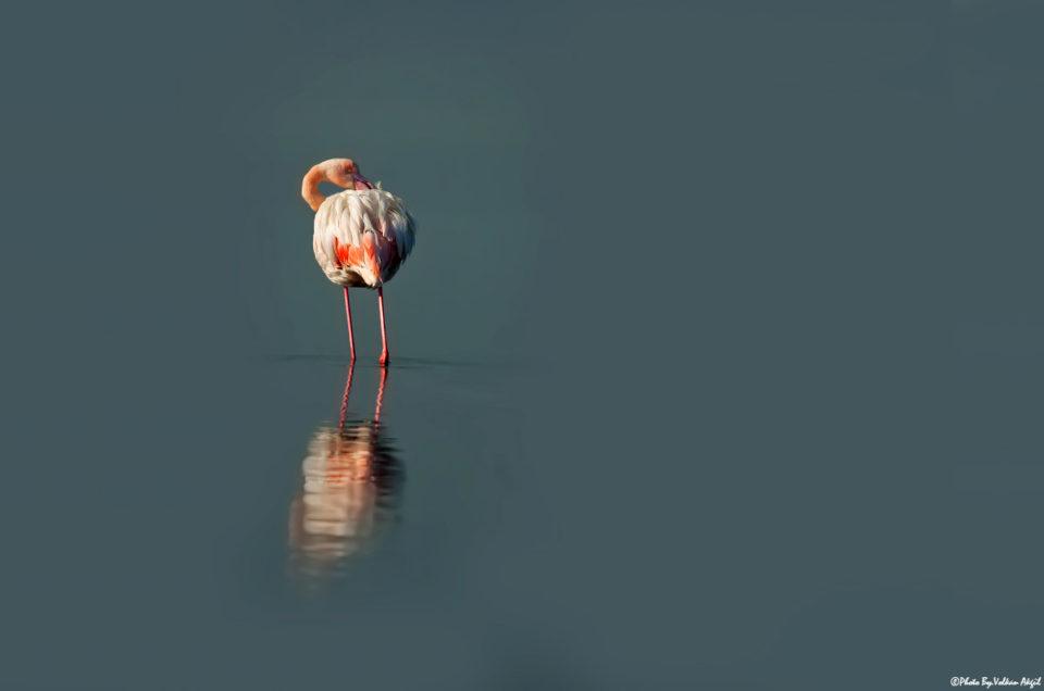 flamingolar,-flamingo-fotoğrafı,-flamingo-çekimi,-flamingo-fotoğraf-çek