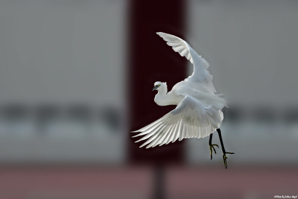 fotoğraf-teknikleri,-küçük-ak-balıkçıl,-kuş-fotoğrafı