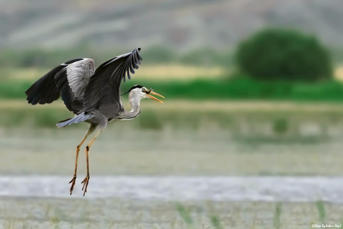 grey-heron-gri-balıkçıl-kuş-fotoğrafı-çekim-teknik-kuş-resimleri