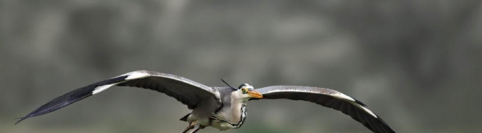 grey-heron-gri-balıkçıl-kuş-fotoğrafı-çekim-teknikleri-kuş-resmi