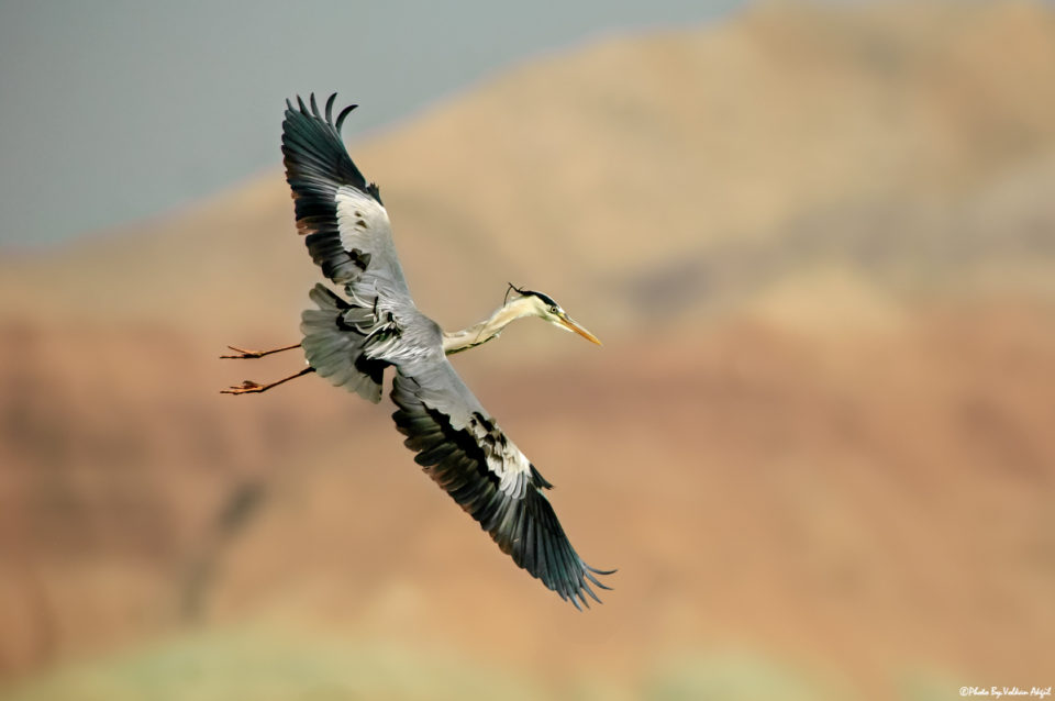 grey-heron,-gri-balıkçıl,-kuş-fotoğrafları,kuş-fotoğrafı-çekim-teknikleri