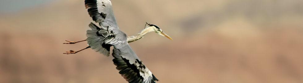 grey-heron-gri-balıkçıl-kuş-foto-kuş-fotoğrafı-kuş-resmi