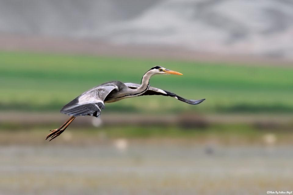 grey-heron-gri-balıkçıl-kuş-resimleri-uçar-kuş
