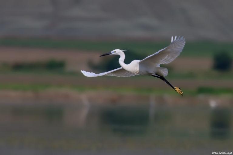 küçük-ak-balıkçıl-Egretta-garzetta-kuş-fotoğrafçılığı