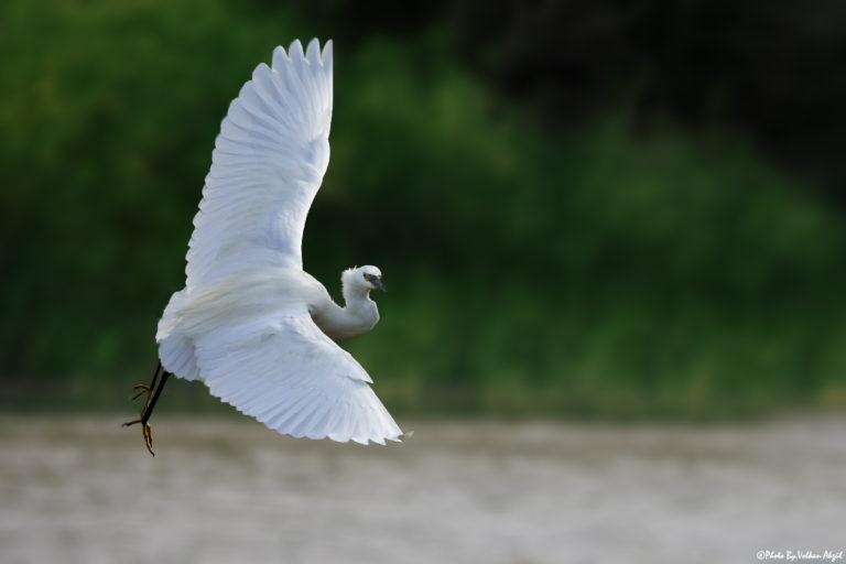 küçük-ak-balıkçıl-kuşu-fotoğraf-çekimi