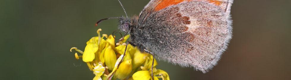 kelebek-fotoğrafı-çekim-teknikleri