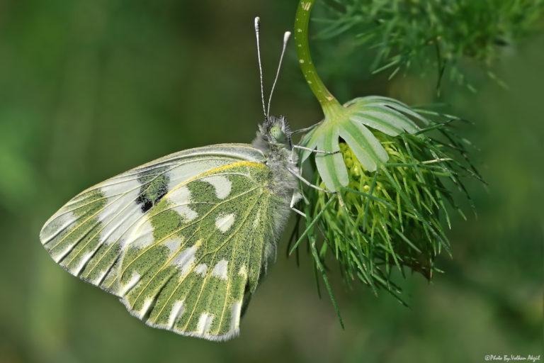 kelebek-fotoğrafı-çekim-teknikleri-volkan-akgül