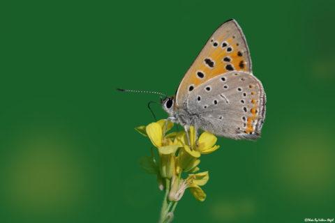 kelebek-fotoğrafı-kelebek-çekimi-çekim-teknikleri