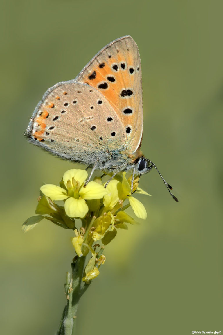 kelebek-fotoğrafı,-kelebek-çekimleri,kelebekler
