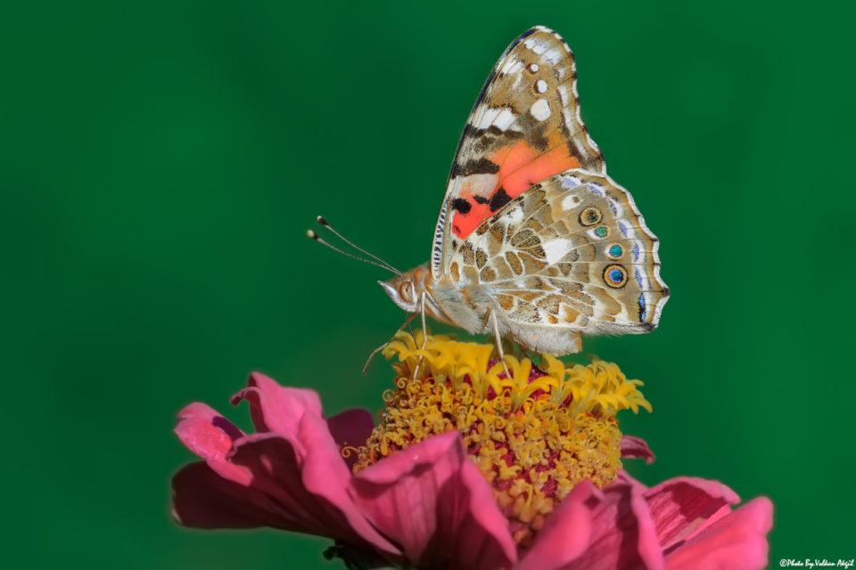 makro-çekim-teknikleri,-makro-kelebek,-kelebek-fotoğrafları