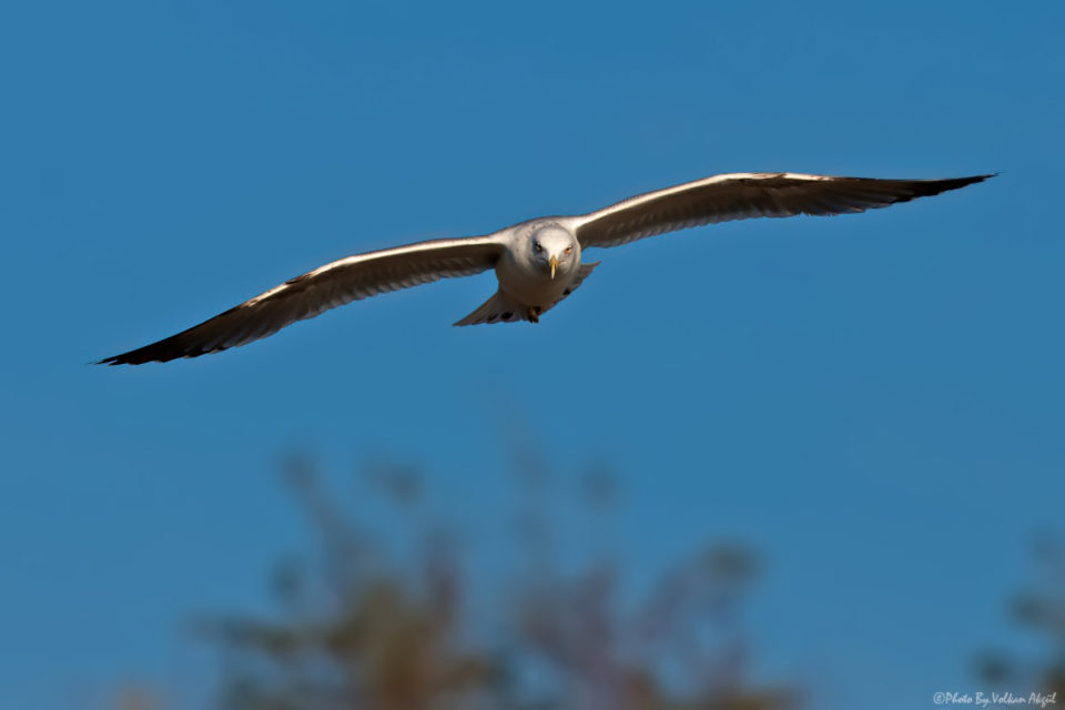 martı fotoğrafı, kuş fotoğrafçılığı