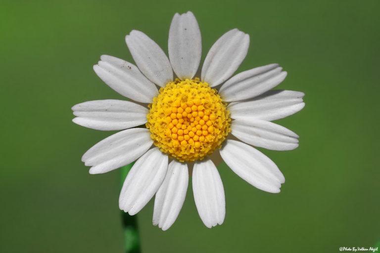 papatya-çiçeği-fotoğraf-çekimi