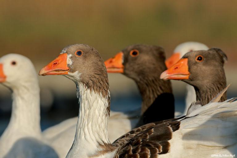 su-kuşları-fotoğraf-çekimleri