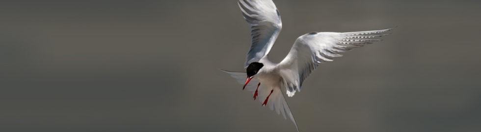 sumru,-sumru-kuşu,-sumru-fotoğraf-çekimi,sumru-kuşları