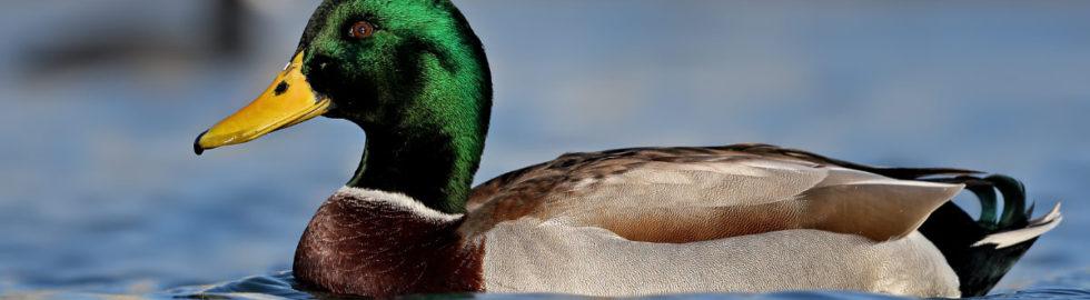 yeşil-ördek-fotoğrafı